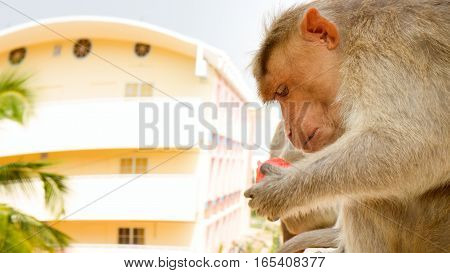 Indian macaques on ledge of multistory building (stealing food). Problem of cohabitation of humans and animals.