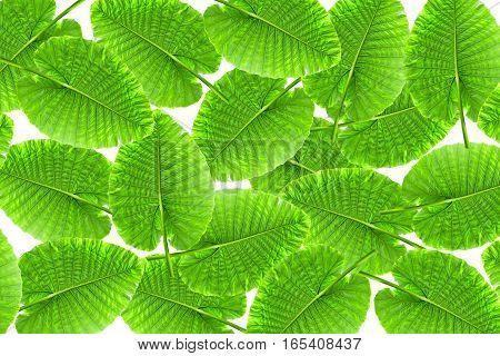 Group of Green Caladium leaf Elephant Ear isolate on white background