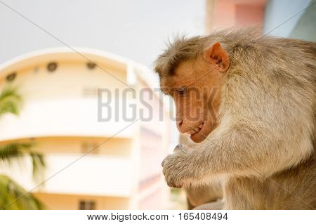 Indian macaques on ledge of multistory building (stealing food) 2. Problem of cohabitation of humans and animals. Animals do not distinguish stone and wooden houses from rocks and trees city as analogue environment (synanthropization)