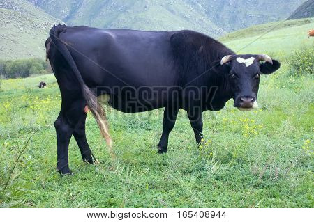 Cattle-breeding. Young cow (calf) on mountain meadows of Altai