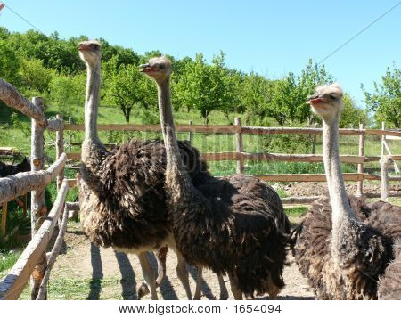 Young Ostriches On A Farm