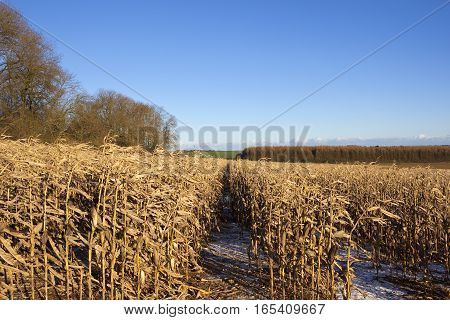 Maize And Larch Woodland