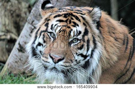 Sumatran tiger male adult orange black stripes