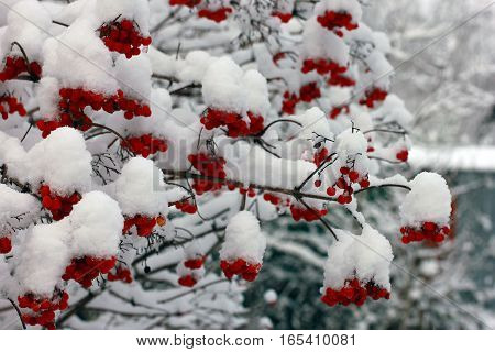 branches of viburnum with red berries covered with snow in winter