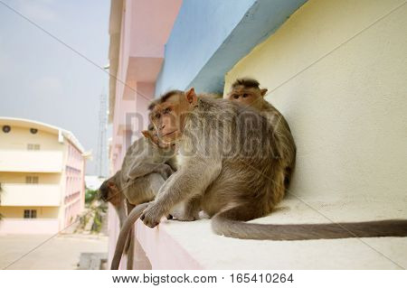 Indian macaques on ledge of multistory building (stealing food) 1. Problem of cohabitation of humans and animals.