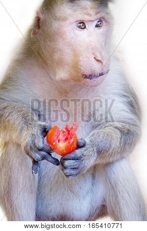 Even monkey understands benefits of organic vegetables 1. Indian Macaque with ripe tomato. Note expressiveness of eyes (long live vegetarianism! Fun)