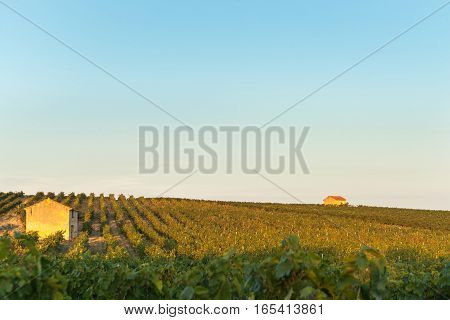 Evening sun catching vines and two vineyard sheds in vineyards rural France