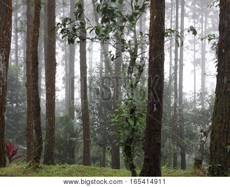 misty pine forest background, tree background,green forest background