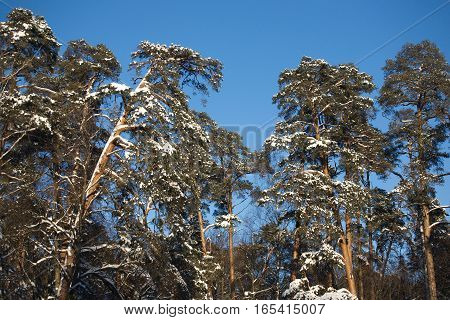 Many high pines with snow on branches under blue cloudless sky