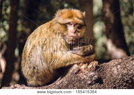Wildlife shot of a barbary macaque monkey sitting on a stub looking straight into the camera in the National Park of Ifrane, Morocco.