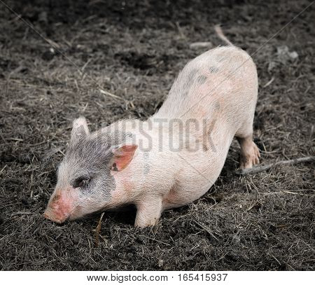 Portrait of a little funny piglet on a farm. Little pink piglet and dirty ground. Farm animals. Gray dwarf Vietnamese pig