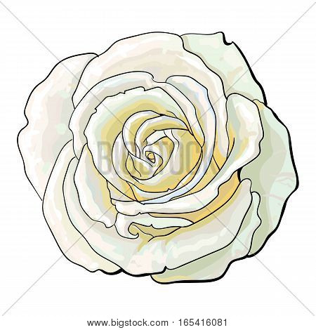 Deep white rose bud, top view sketch style vector illustration isolated on white background. Realistic hand drawing of open red rose flower, decoration element