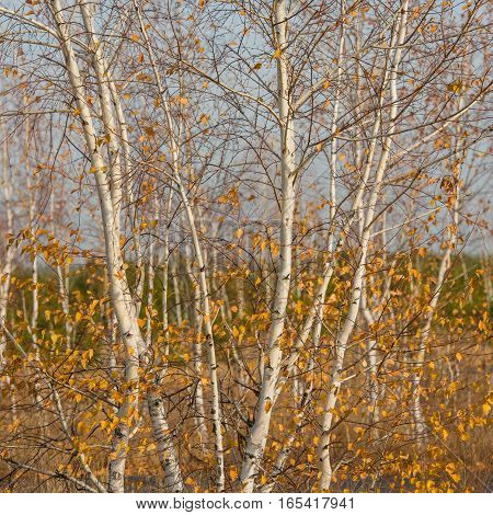 trees young birches in the fall on a sunny day