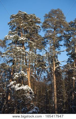 High pines with snow on branches under blue cloudless sky vertical view