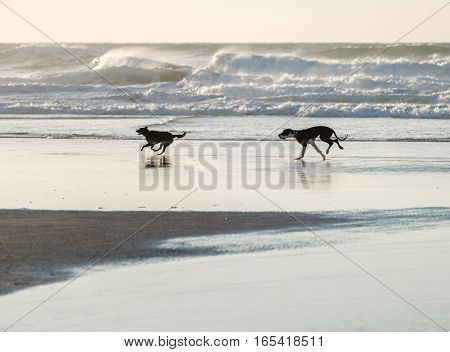 Dogs is running along the sea shore