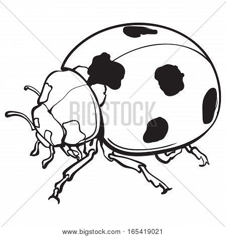 Red ladybug, ladybird with black spots, sketch illustration isolated on white background. black and white realistic hand drawing of ladybug or ladybird on white background