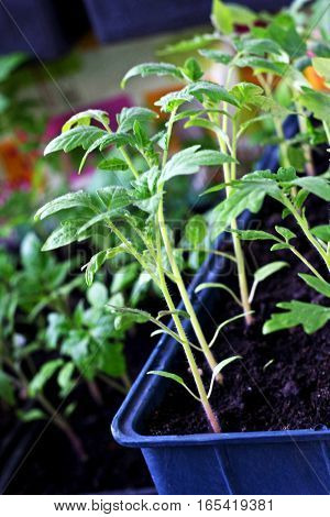 In the spring seedlings. Low sprouts of tomatoes grown at home in boxes. The sprouts of tomatoes grown from seed.