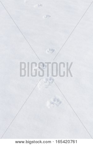 Pawprints of a Dog on Pure Untouched Snow
