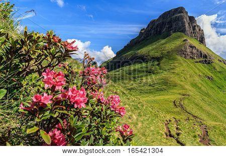 rhododendron flowers and Crepa neigra peak in Val di Fassa Trentino Italy