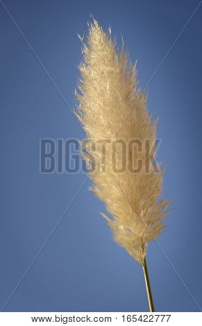 Reed plume against blue sky background graphical