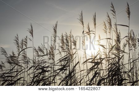 Cane silhouette back lit by the sun background use