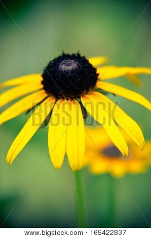 Rudbeckia 'summerina' Yellow Coneflower, Also Known As Black-eyed Susan