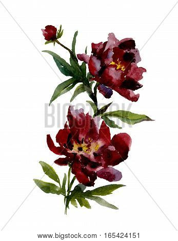 Beautiful wine red peonies on white background. Watercolor painting. Hand drown. Vertical orientation.