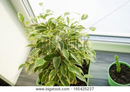 Ficus flower in green pot on a window sill