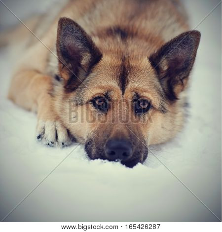 Portrait of the sad dog lying on snow.