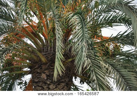 Close up of branches of coconut palm tree foggy day green and orange colors