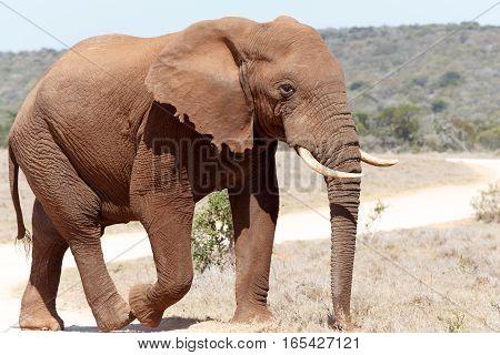 Bush Elephant Walking On The Dust Road