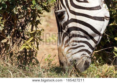 Zebra Grabbing A Piece Of Grass