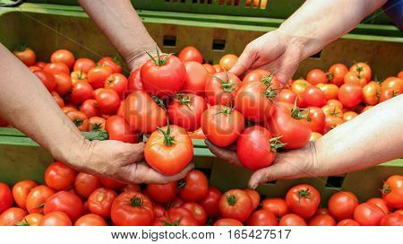 Farmer Hands With Freshly Harvested Tomatoes. Farmer holding fresh delicious tomatoes with hands cupped.