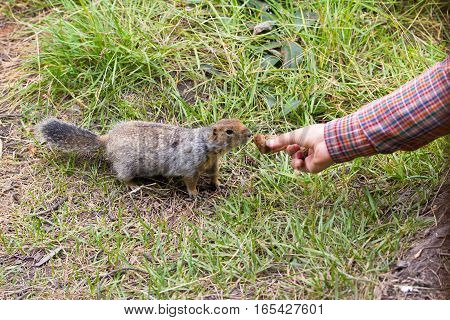 Feeding cute arctic ground squirrel with a peace of bread