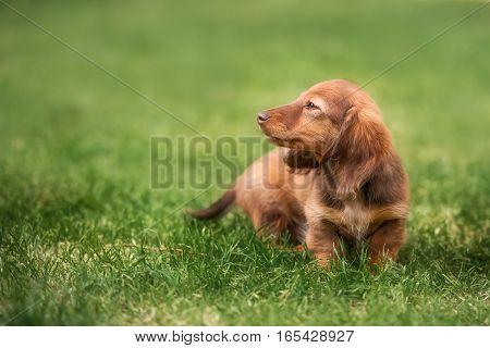 A beautiful dachshund puppy dog with sad eyes dog portrait