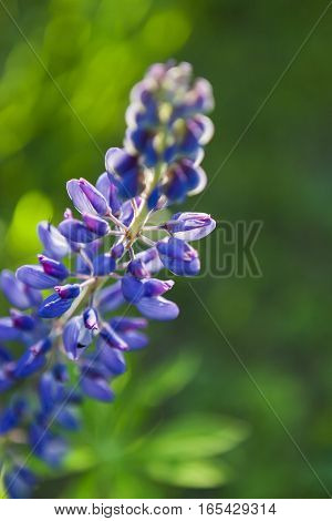 Wild flower Lupine in the evening light. Close up