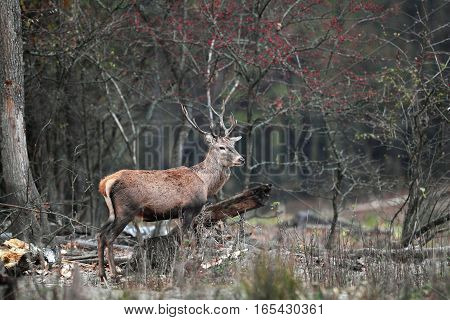 Male deer standing in a clearing in forest