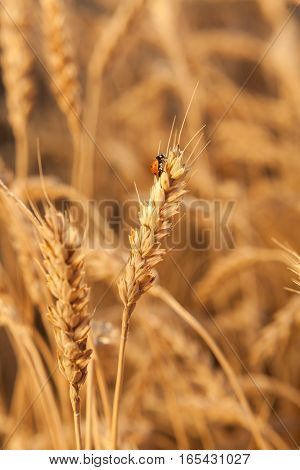 Ladybug on wheat closeup. wheat harvest in the field. ripe wheat closeup.