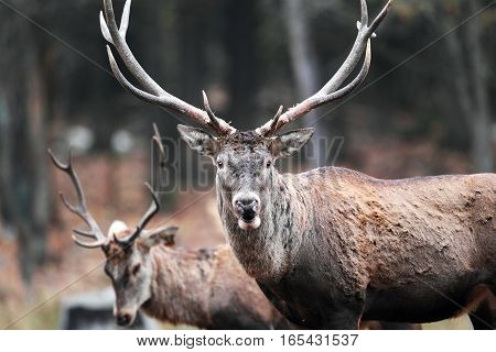 Adult Deer With Large Antlers Closeup Of A Deer In The Background