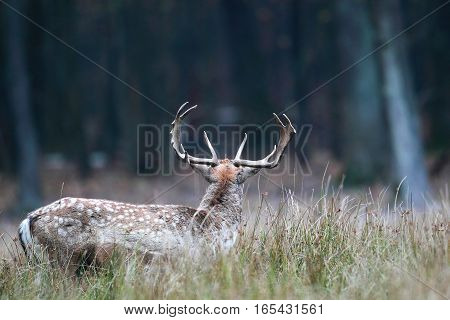 Beautiful Big Horn Stag Turned Away To The Forest