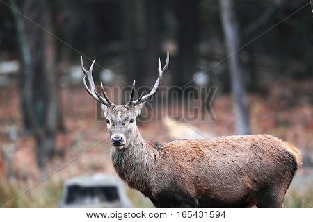 Portrait Of A Male Deer In The Autumn Forest With Very Beautiful Horns
