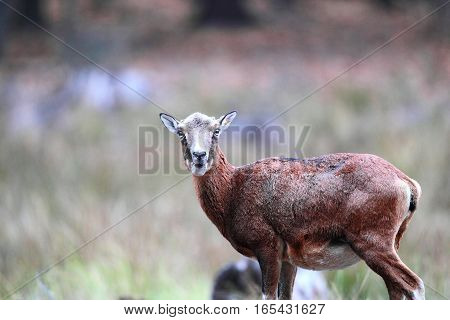 The Surprise Appearance Of The Female In The Wild Mouflon