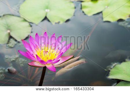 Waterlily flower in the pond purple flower