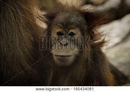 A close up of a calm orangutan