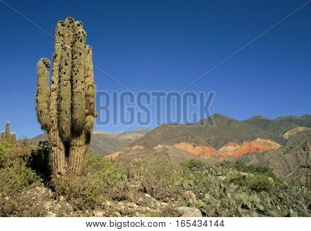 Cactus landscape near Salta in the North of Argentina