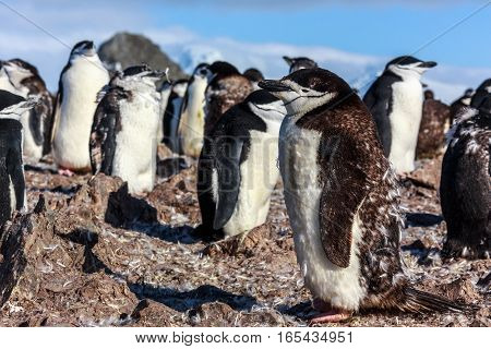 Young Chinstrap Penguin Standing Among His Colony Members Gathered On The Rocks, Half Moon Island, A