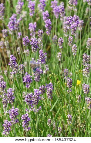 Butterfly Polyommatus Icarus (lat. Polyommatus icarus) sitting on flowers of lavender (lat. Lavandula)