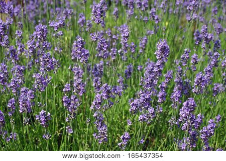 A bed of lilac lavender (Lavandula angustifolia) flowers in full bloom.