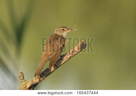 great reed warbler above branch with twig in mouth