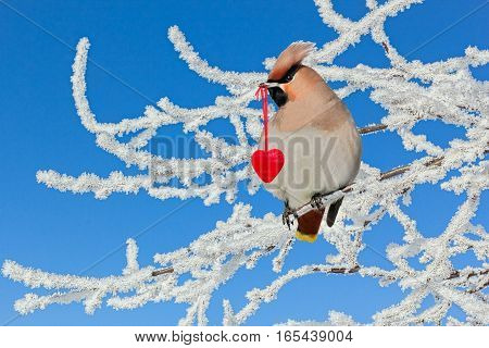 Waxwing bird sitting on a branch in a white hoarfrost on the background of blue sky and holds in its beak a red heart
